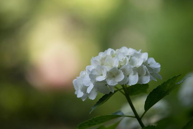 【正覚寺の紫陽花(白)】2