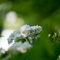 【正覚寺の紫陽花(白)】3