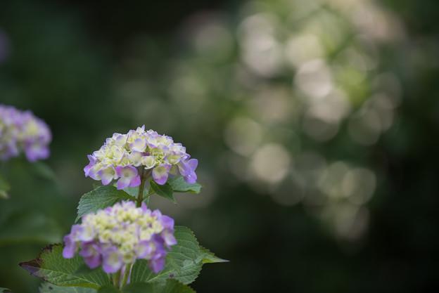 Photos: 【正覚寺の紫陽花(紫)】1