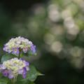 【正覚寺の紫陽花(紫)】1