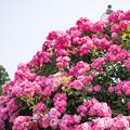 写真: 【神代植物公園(アンジェラ)】1