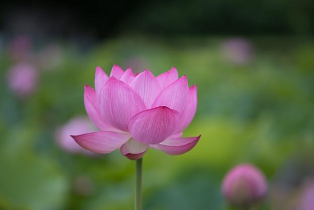 【小山田神社2(大賀蓮)】4