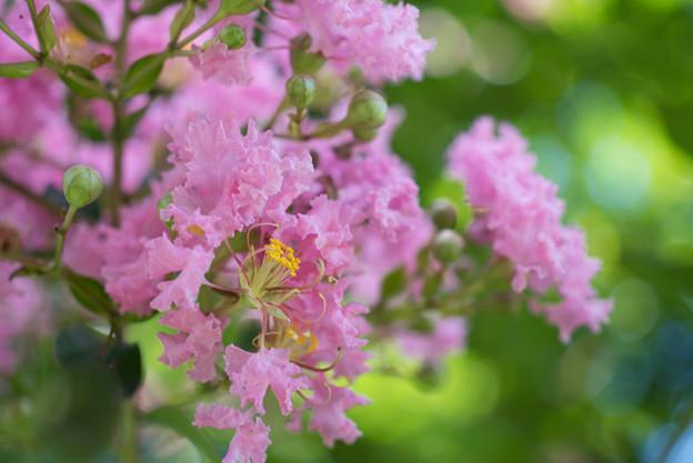【大船植物園(ピンク色のサルスベリ)】2