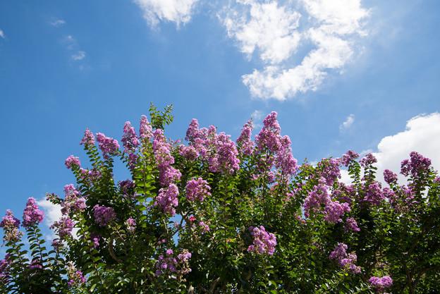 【大船植物園(紫色のサルスベリ)】1
