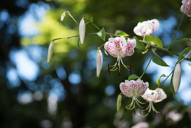 【大船植物園(カノコユリ)】4