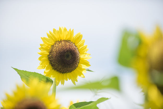 【昭和記念公園(もみじ橋近くの丘のレモン色のヒマワリ】5