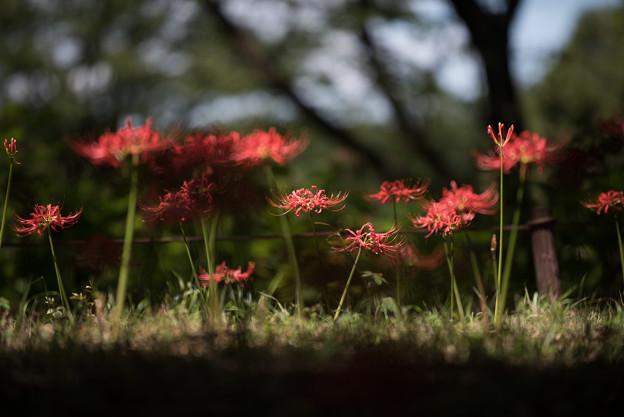 【昭和記念公園(ふれあい橋南西斜面のヒガンバナ】2