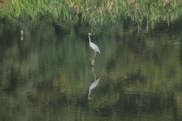 【泉の森(しらかしの池にいた鳥)】