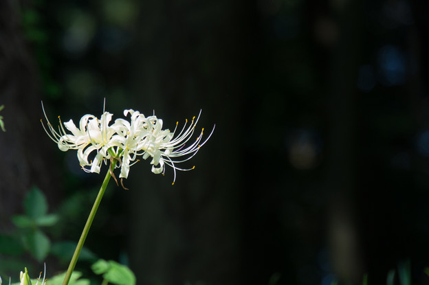 【泉の森(引地川沿いの彼岸花)】2