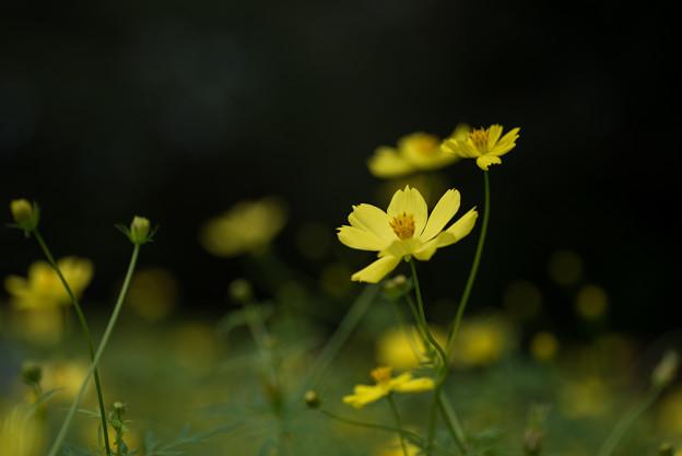【昭和記念公園(レモン色のキバナコスモス)】6