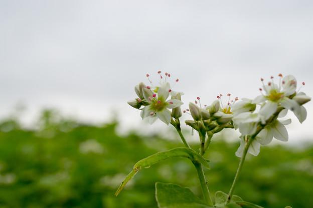 【山中湖花の都公園(蕎麦の花)】3