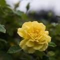 【大船植物園(薔薇:ミラベラ)】