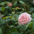 【横浜こども植物園(薔薇:ウィズリー2008)】
