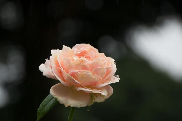 【横浜こども植物園(薔薇:アフロディーテ)】