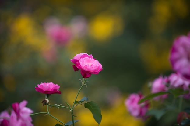 【花菜ガーデン(薔薇:ソフィーズ・パーペチュアル)】2