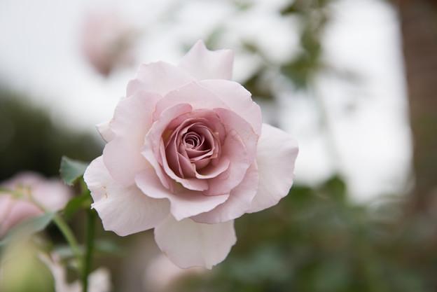 【花菜ガーデン(薔薇:ニュー・ウェーブ)】1