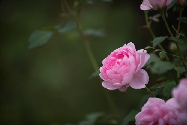 【花菜ガーデン(薔薇:ワイフ・オブ・バス)】4