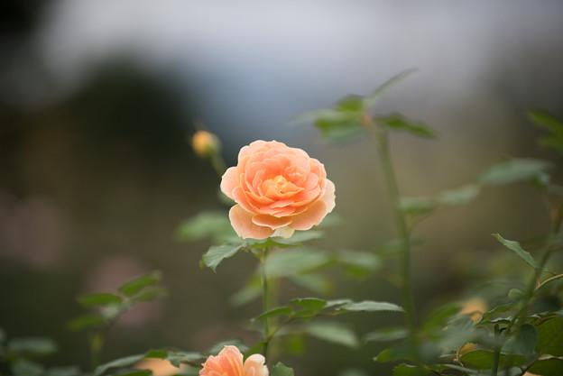 【花菜ガーデン(薔薇:モリニュー)】2