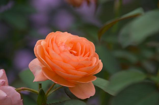 【花菜ガーデン(薔薇:ルイーズ・クレメンツ)】4
