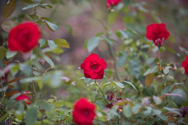 【花菜ガーデン(薔薇:ダブリン・ベイ)】1