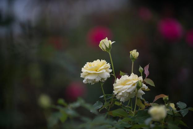 【花菜ガーデン(薔薇:快挙)】