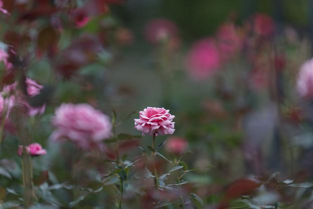 【花菜ガーデン(薔薇:結愛)】