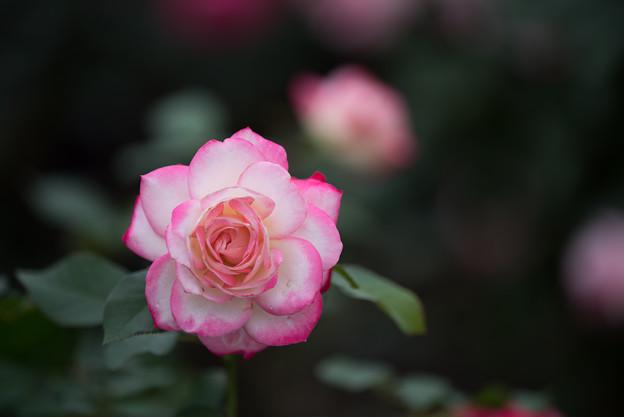 【花菜ガーデン(薔薇:ジュビレ・デュ・プリンス・ドゥ・モナコ)】