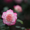 Photos: 【花菜ガーデン(薔薇:ジュビレ・デュ・プリンス・ドゥ・モナコ)】