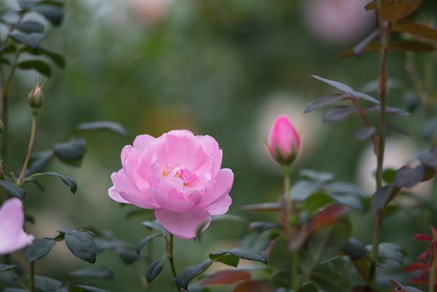 【花菜ガーデン(薔薇:スカイラーク)】