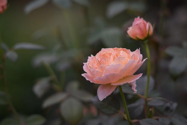 【花菜ガーデン(薔薇:タモラ)】