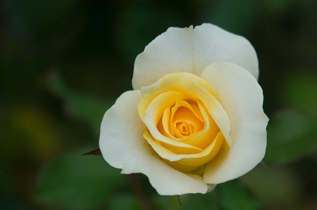 【花菜ガーデン(薔薇:和音)】