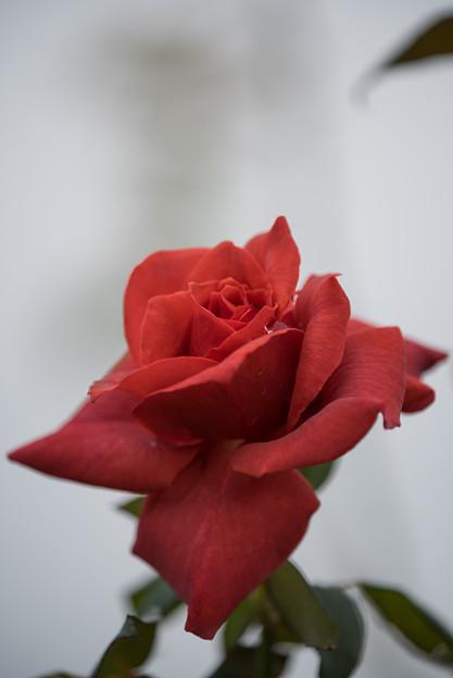 【花菜ガーデン(薔薇:つる・ブラックティ)】