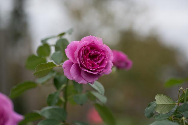 【花菜ガーデン(薔薇:センティッド・エアー)】