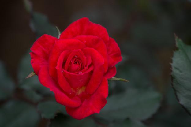 【花菜ガーデン(薔薇:煌)】