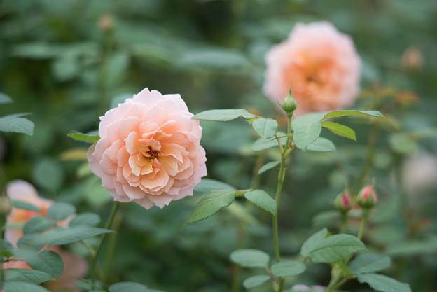 【花菜ガーデン(薔薇:グレイス)】1
