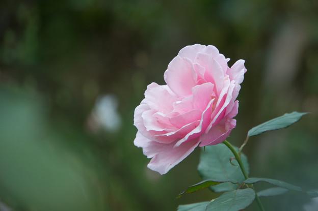 【花菜ガーデン(薔薇:ヘルシューレン)】