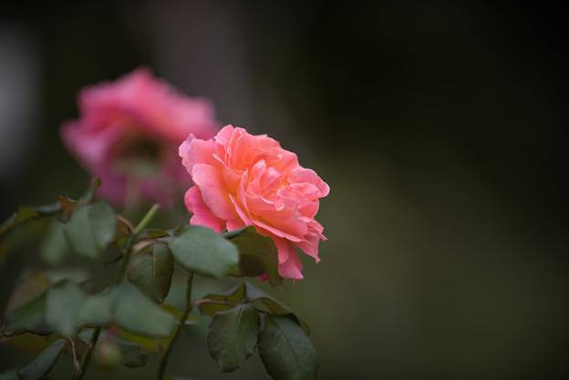 【花菜ガーデン(薔薇:タイフーン)】1