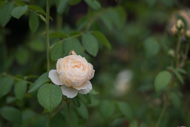 【花菜ガーデン(薔薇:ウィンダミア)】1