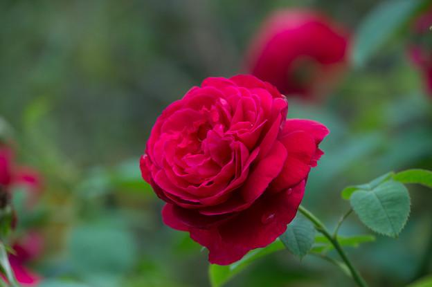 【花菜ガーデン(薔薇:L・D・ブレスウェイト)】3