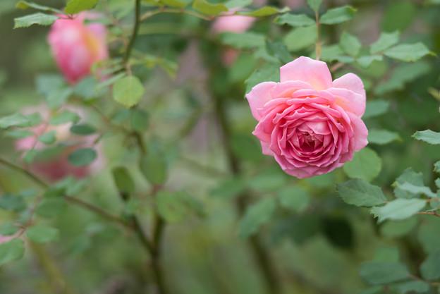 【花菜ガーデン(薔薇:ジュビリー・セレブレーション)】1