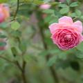 Photos: 【花菜ガーデン(薔薇:ジュビリー・セレブレーション)】1