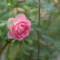 Photos: 【花菜ガーデン(薔薇:ジュビリー・セレブレーション)】2