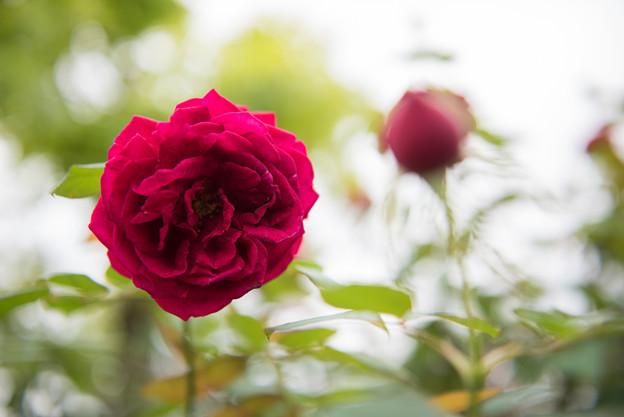 【花菜ガーデン(薔薇:ザ・スクワイア)】