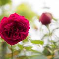 Photos: 【花菜ガーデン(薔薇:ザ・スクワイア)】