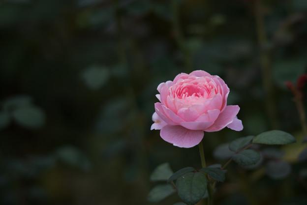 【花菜ガーデン(薔薇:クィーン・オブ・スウェーデン)】