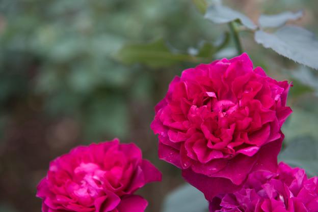 【花菜ガーデン(薔薇:ベルベティ・トワイライト)】