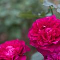 Photos: 【花菜ガーデン(薔薇:ベルベティ・トワイライト)】