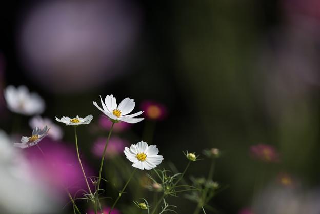 【昭和記念公園(花の丘:ドワーフセンセーション)】2_6