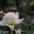 【生田緑地ばら苑(薔薇:ガーデン・パーティ)】2