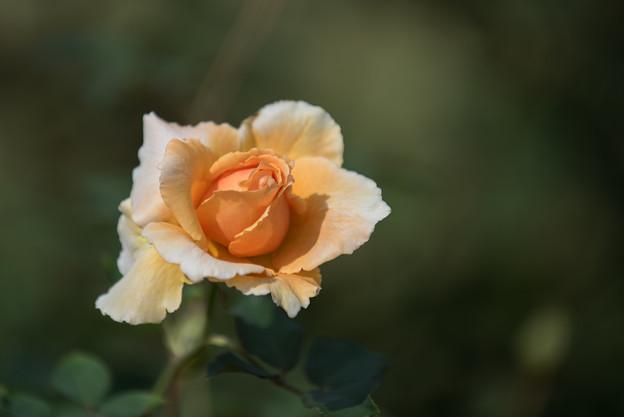【生田緑地ばら苑(薔薇:ジャスト・ジョイ)】1